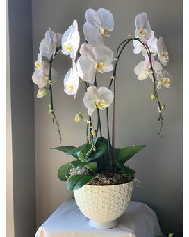 Three Stem Orchid Planter Plant