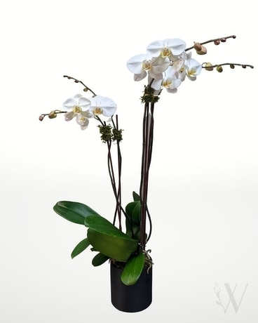 Noble Orchid Plant