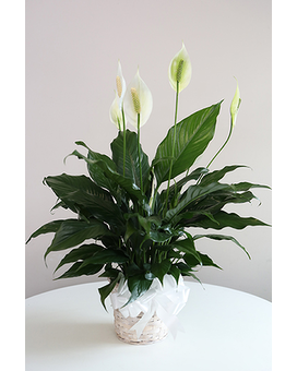 Peace Lily-Small Plant