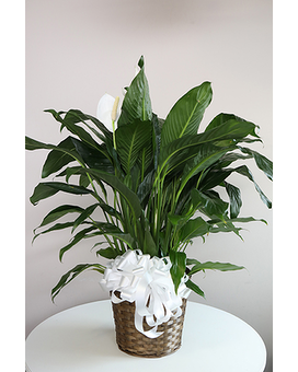 Peace Lily-Large Plant
