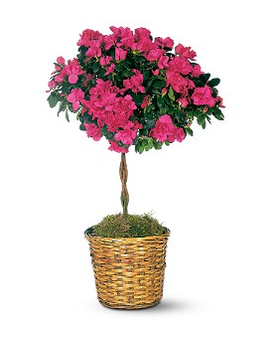 Azalea Topiary Flower Arrangement