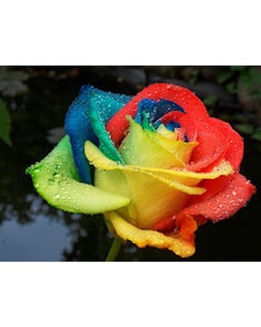 12 RAINBOW ROSES Flower Arrangement
