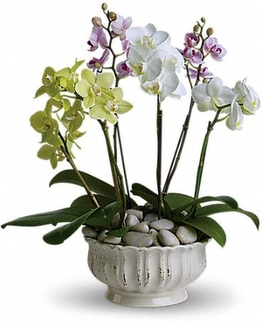 Regal Orchids Plant