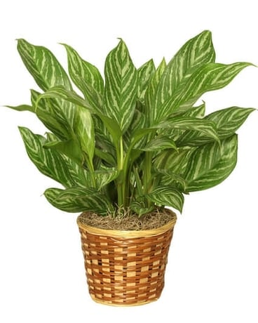 Chinese Evergreen (Aglaonemia)
