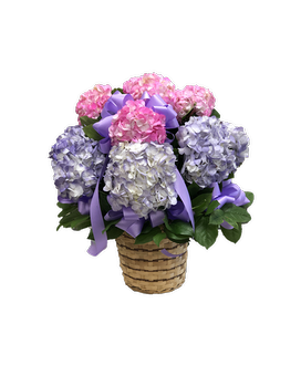Cut Hydrangeas in Basket Plant