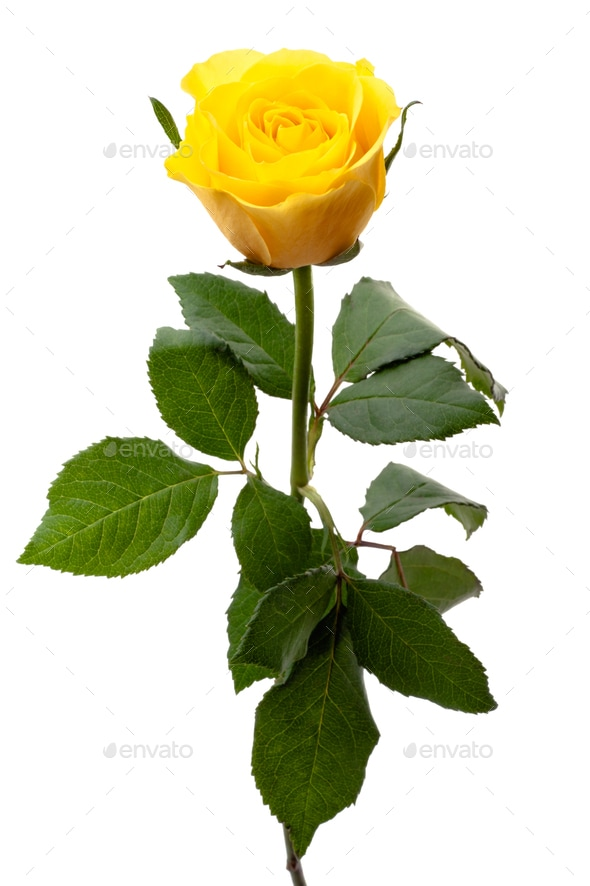 1 Yellow Rose