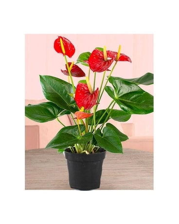 Red Anthurium Plant Flower Arrangement