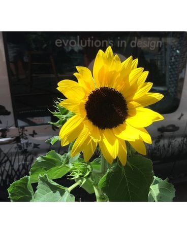 Sunflower Plant Plant
