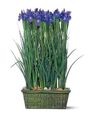 Iris Garden in Yellowknife NT - Rebecca\'s Flowers, Too