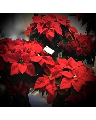Poinsettia Plant In Oakland City In Sue S Flowers Gifts