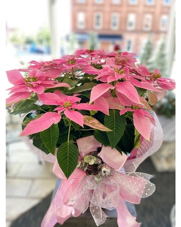 Christmas Poinsettia In Macon Ga Lawrence Mayer Florist