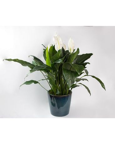Large Peace Lily in Ceramic