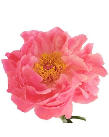 Coral Charm Peonies Flower Arrangement