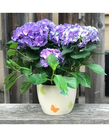 Hydrangea and Butterflies Plant