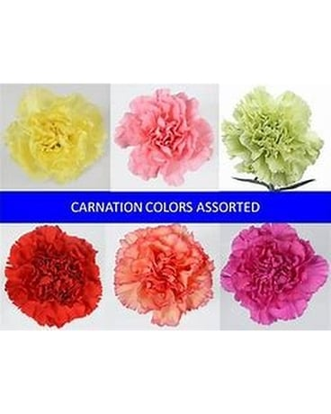 12 carnations wrap - 5 times Flowers
