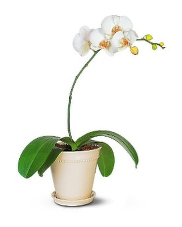 White phalaenopsis orchid by flowers by michael in vancouver bc white phalaenopsis orchid by flowers by michael flower arrangement mightylinksfo