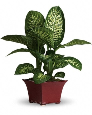 Delightful Dieffenbachia Flower Arrangement