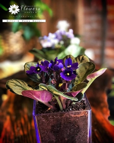 African Violet Plant in Glass Cube