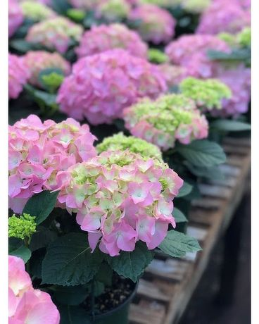 Hydrangea Plant Flower Arrangement