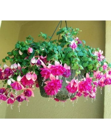 Hanging Outdoor Basket Plant