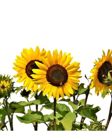 Sunflower Growers Bunch $19.95 (10 stems) Flowers