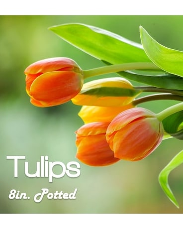 Potted Tulips
