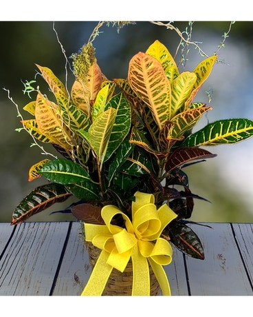 Tropical Croton Plant