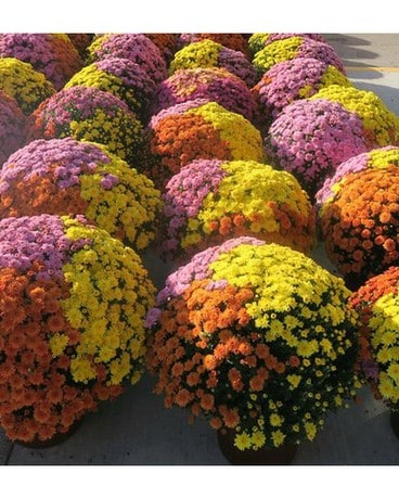 TriColor Potted Mums