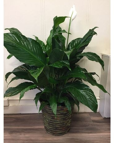Large Peace Lily Flower Arrangement