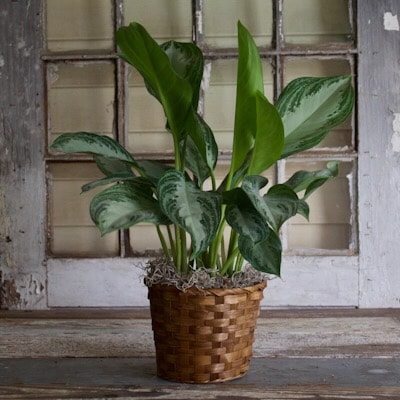 6 Inch Chinese Evergreen Plant