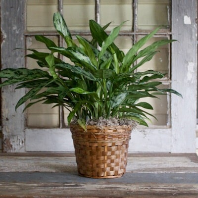 8 Inch Chinese Evergreen Gift Basket
