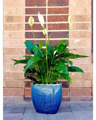 Spathiphyllum Plant in Ceramic Pot Plant