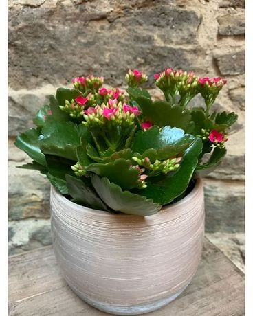 Kalanchoe in 6 Plant