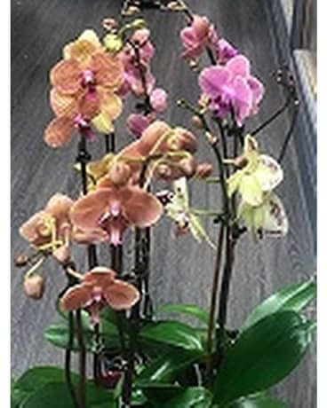 Planted Orchid Special Plant