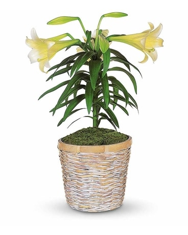 Easter Lily Plant Flower Arrangement