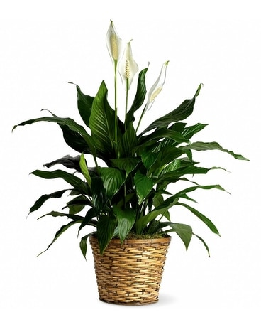Peace Lily in a Wicker Basket Dish Garden Plant