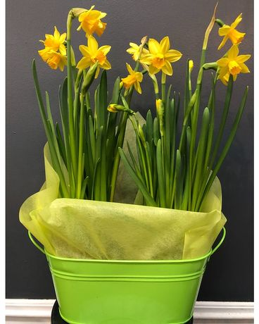 Twin daffodils gift set in deco pot Flower Arrangement
