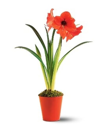 Amaryllis Plant Flower Arrangement
