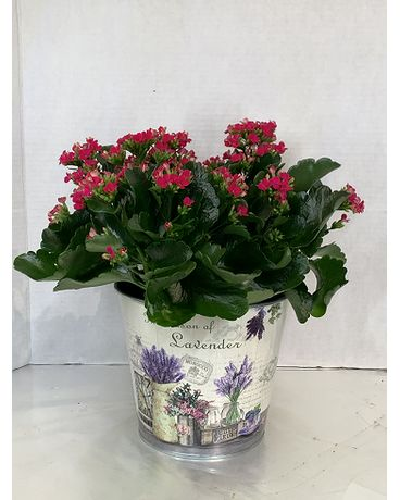 "6"" Kalanchoe in Ceramic Pot Flower Arrangement"
