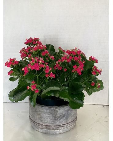 "6"" Kalanchoe in a Pot Flower Arrangement"