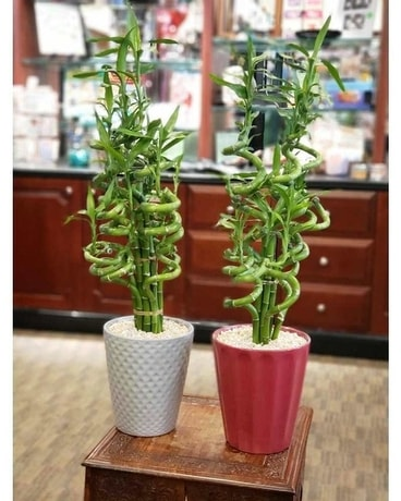 Large Lucky Bamboo Plants Plant