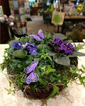 Butterflies and Violets Plant