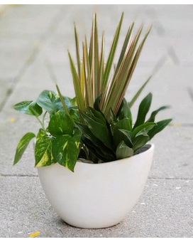 Oval Planter with 3 Mini Plants Plant