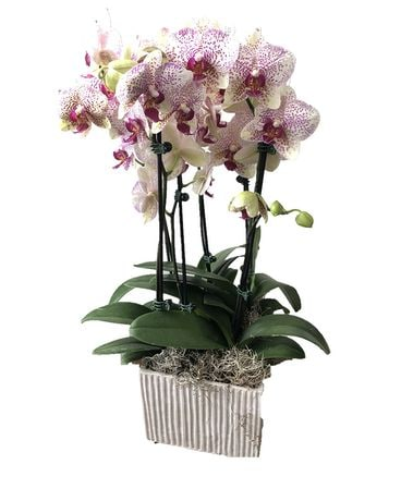Large Orchid Garden Plant
