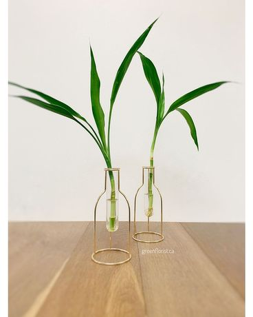 Lucky Bamboo in Glass Tube Vase (Set of 2) Flower Arrangement
