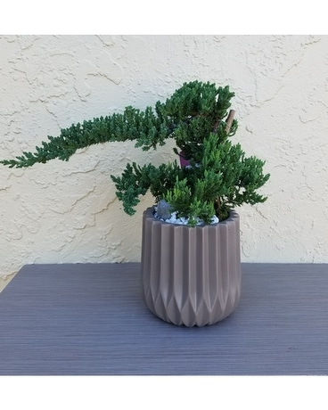 Bonsai Juniper Tree Plant