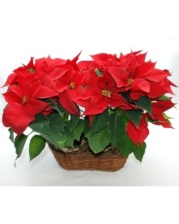 Double Poinsettia Basket Plant