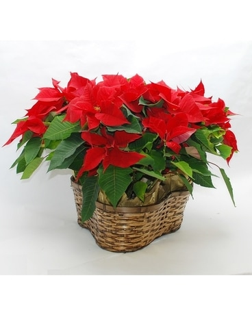Triple Poinsettia Basket Plant