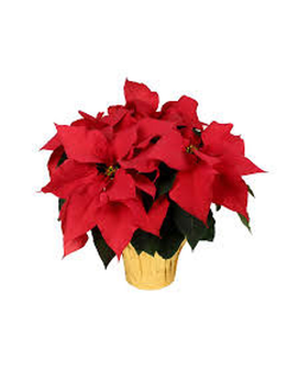 10 Inch Poinsettia Flower Arrangement