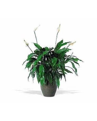 Spanthiphyllum Plant